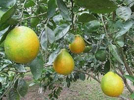 Hlb de los c tricos archives notiagro for Enfermedades citricos fotos