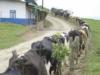 Caminos en las fincas mejoran la salud de las vacas