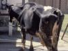 Paratuberculosis, enfermedad silenciosa de los bovinos