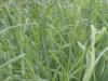 Pasto azul orchoro ideal para el trópico bajo